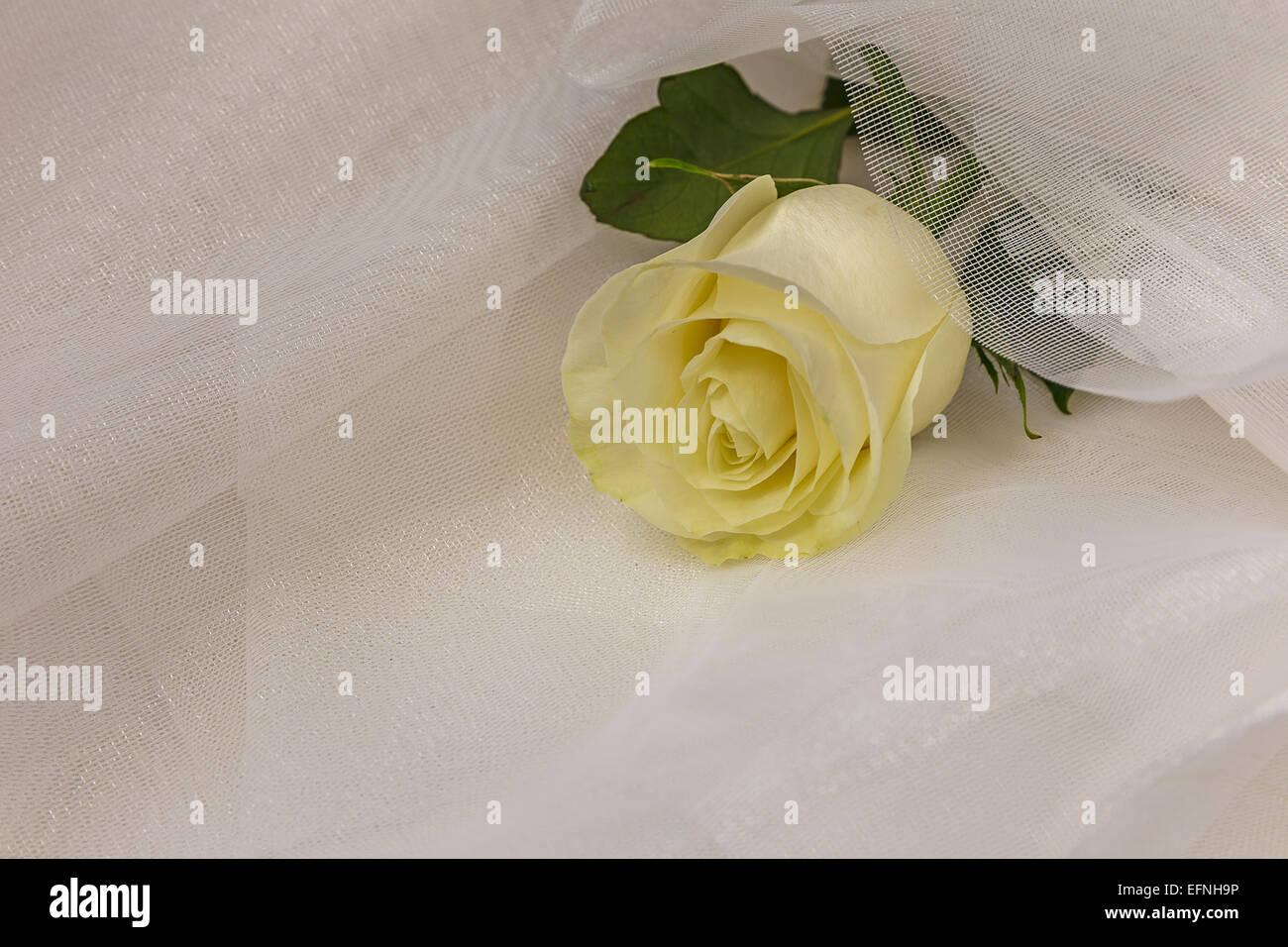 Beige rose on white tulle Stock Photo