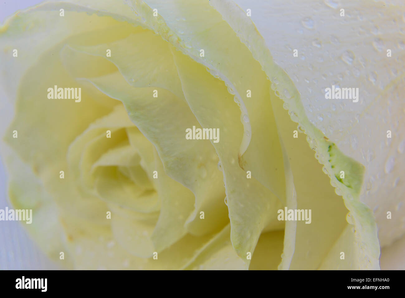 Beige rose and drops on white tulle Stock Photo