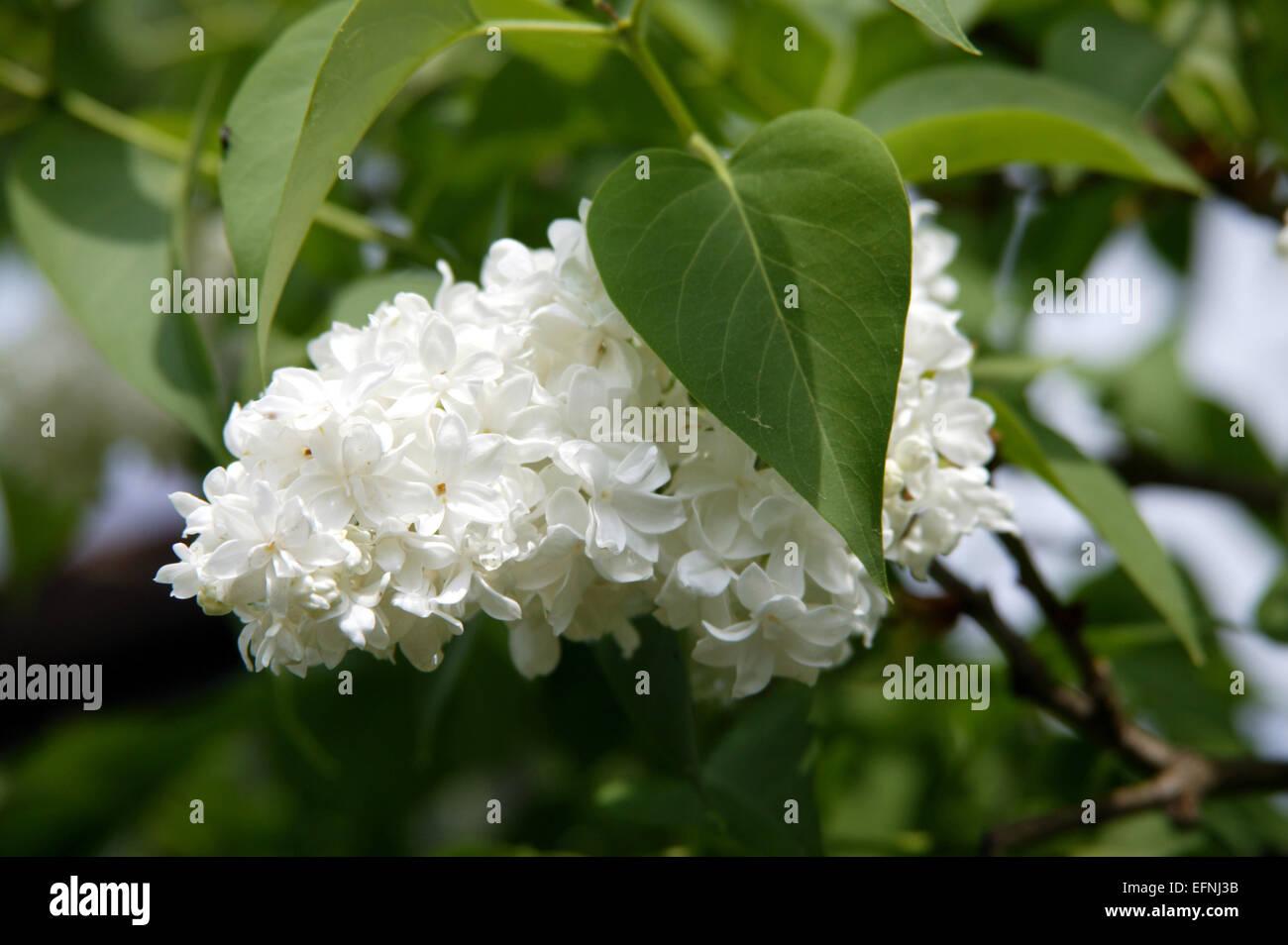 flieder buddleja blueten sommerflieder pflanze strauch bluehen stock photo 78536511 alamy. Black Bedroom Furniture Sets. Home Design Ideas