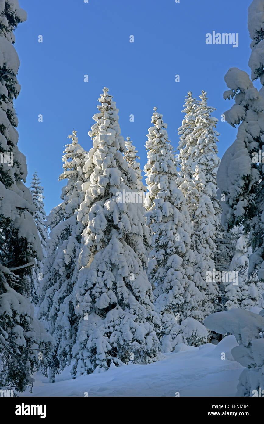 All trees (fir-tree) are snow-covered. Blue sky is in the background. - Stock Image