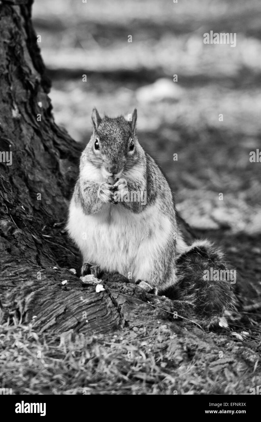 squirrel eating a nut - Stock Image