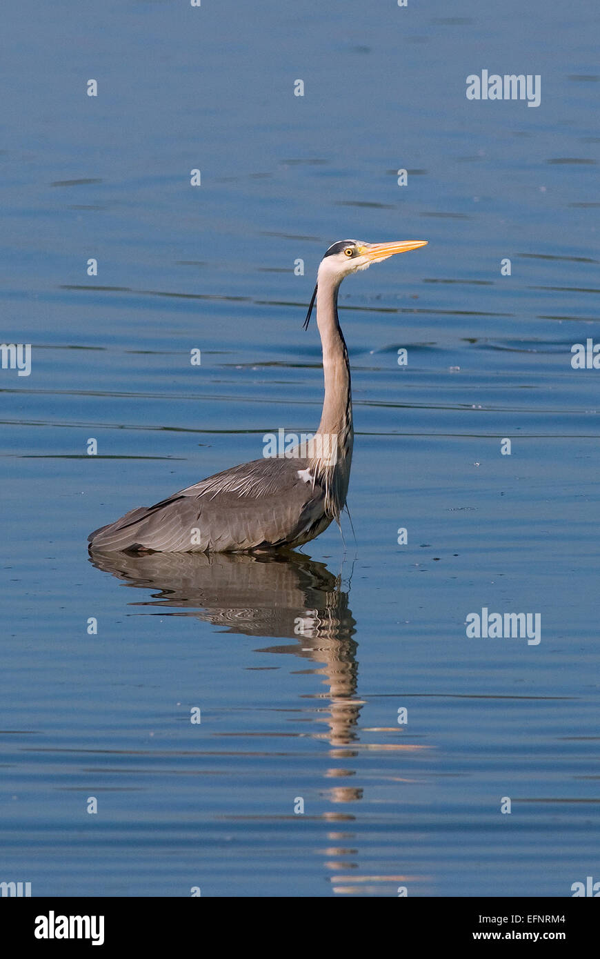 Grey heron (Ardea cinerea), Lake Trasimeno, Umbria, Italy, Europe - Stock Image