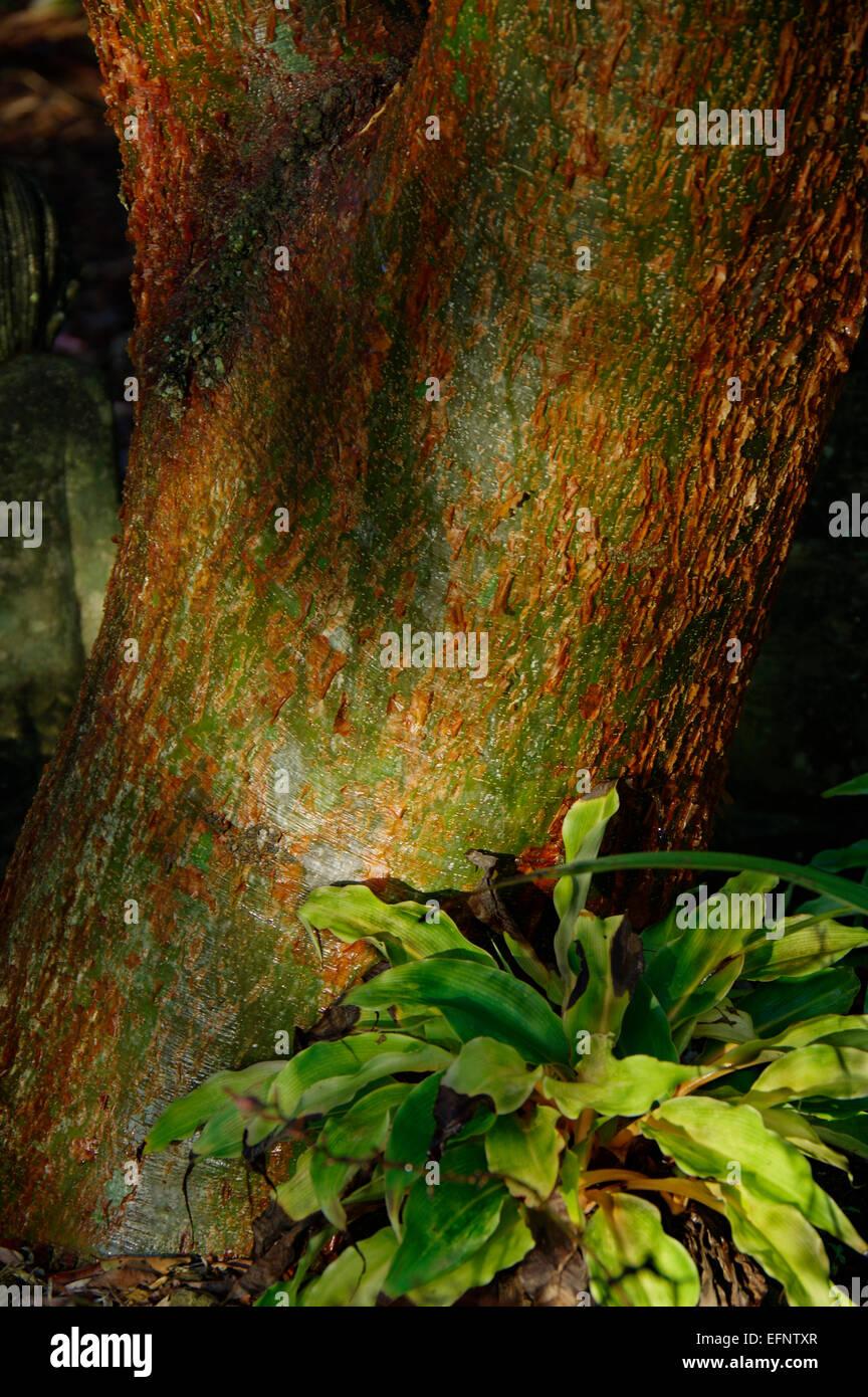 Gumbo Limbo tree and fern - Stock Image