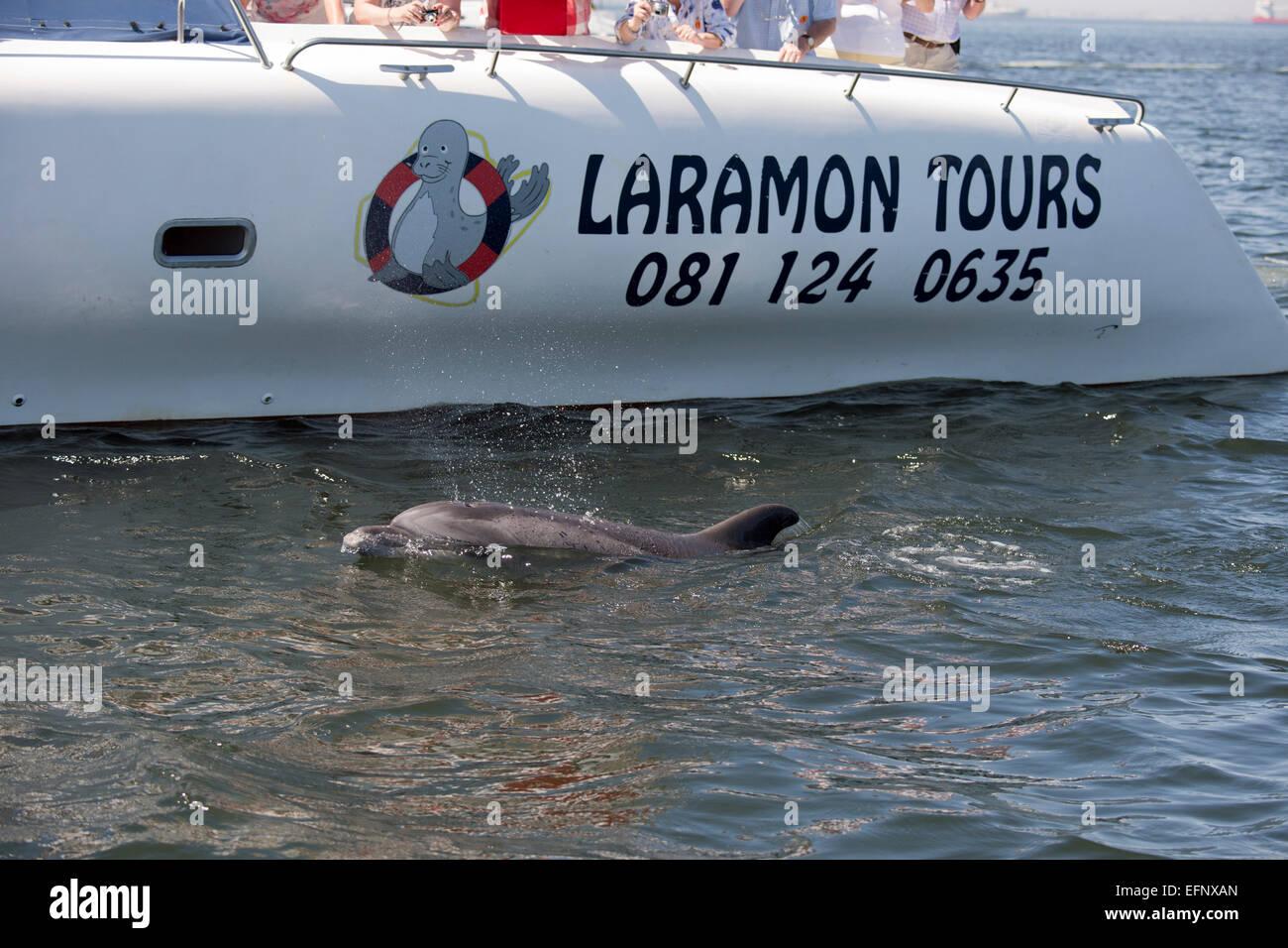 Bottlenose Dolphin, Tursiops truncatus, surfacing, near Pelican Point, Walvis Bay, Namibia, Atlantic Ocean. - Stock Image