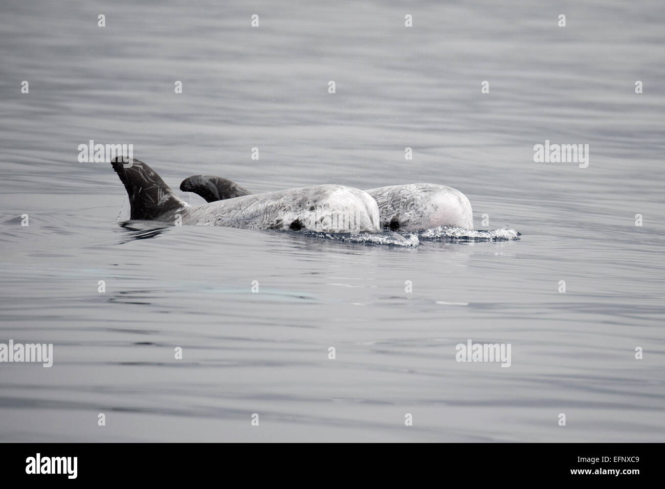 Risso's Dolphin (Grampus griseus) seen during a Whale-Watching trip. Azores, Atlantic Ocean - Stock Image