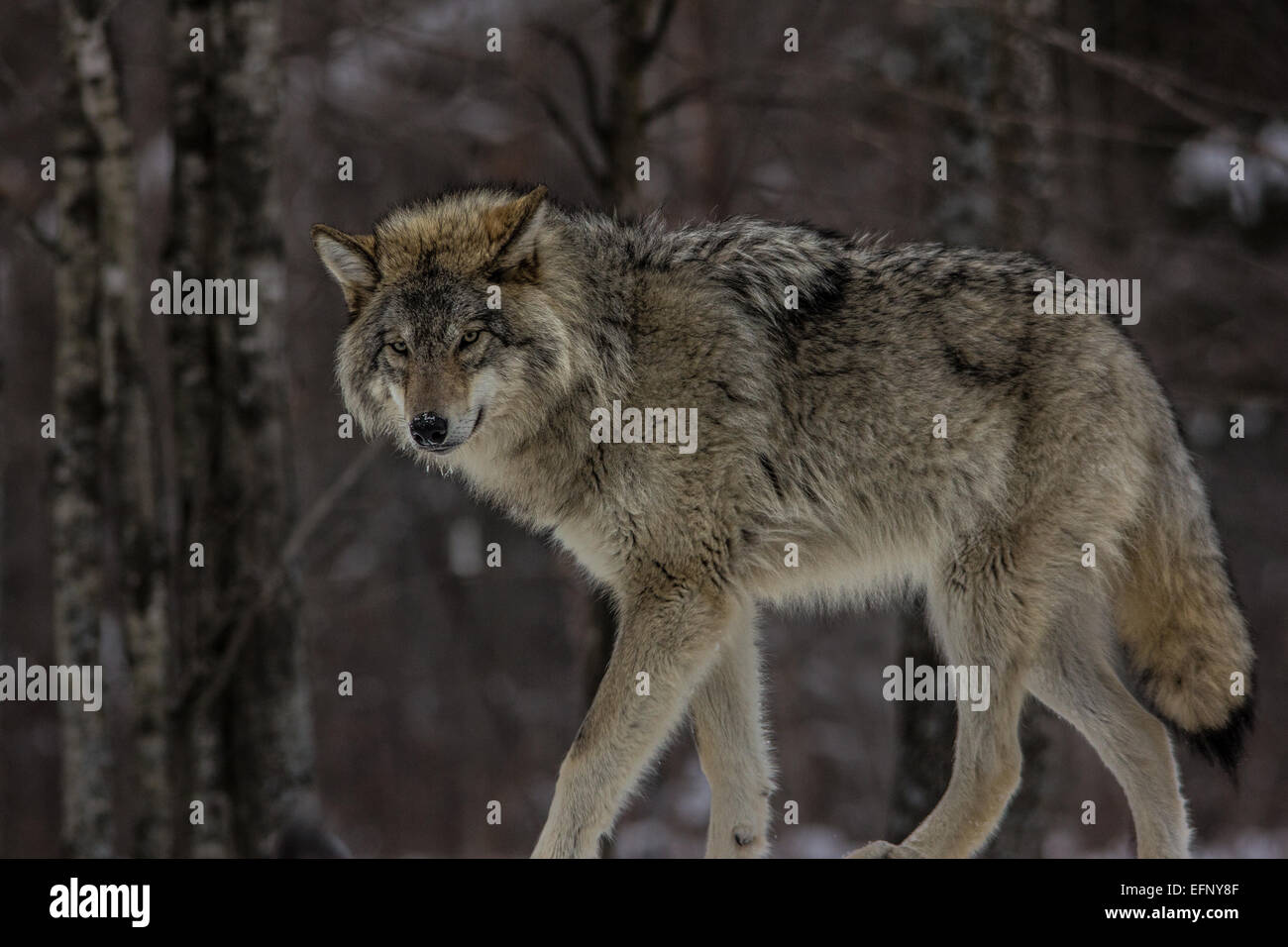 Wolf Stalking - Stock Image