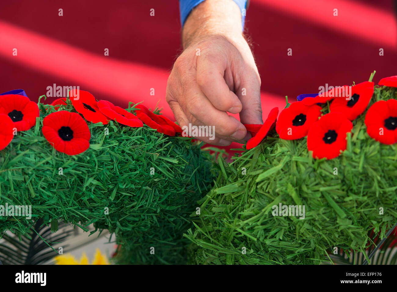 Remembrance Day Poppies, Hand Placing Poppy on Wreath - Stock Image