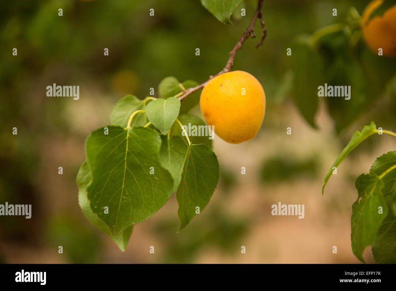 apricot branch with fresh fruit - Stock Image