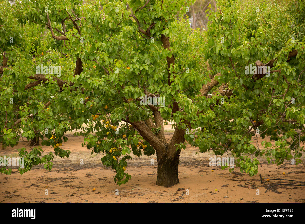 young apricot tree with ripe fruit - Stock Image