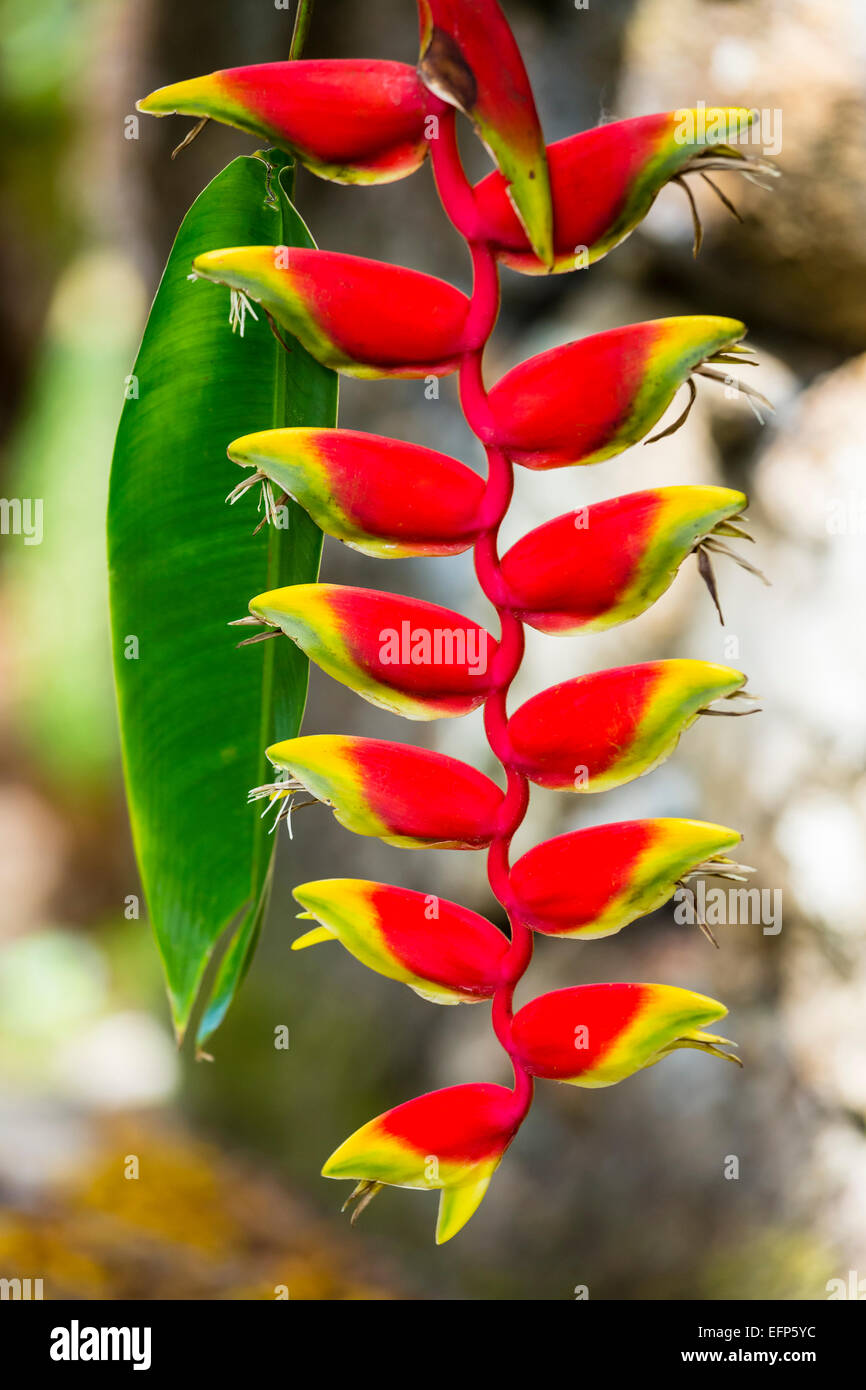 A Hanging Lobster Claw flower in the botanical garden of Mahe, Seychelles - Stock Image