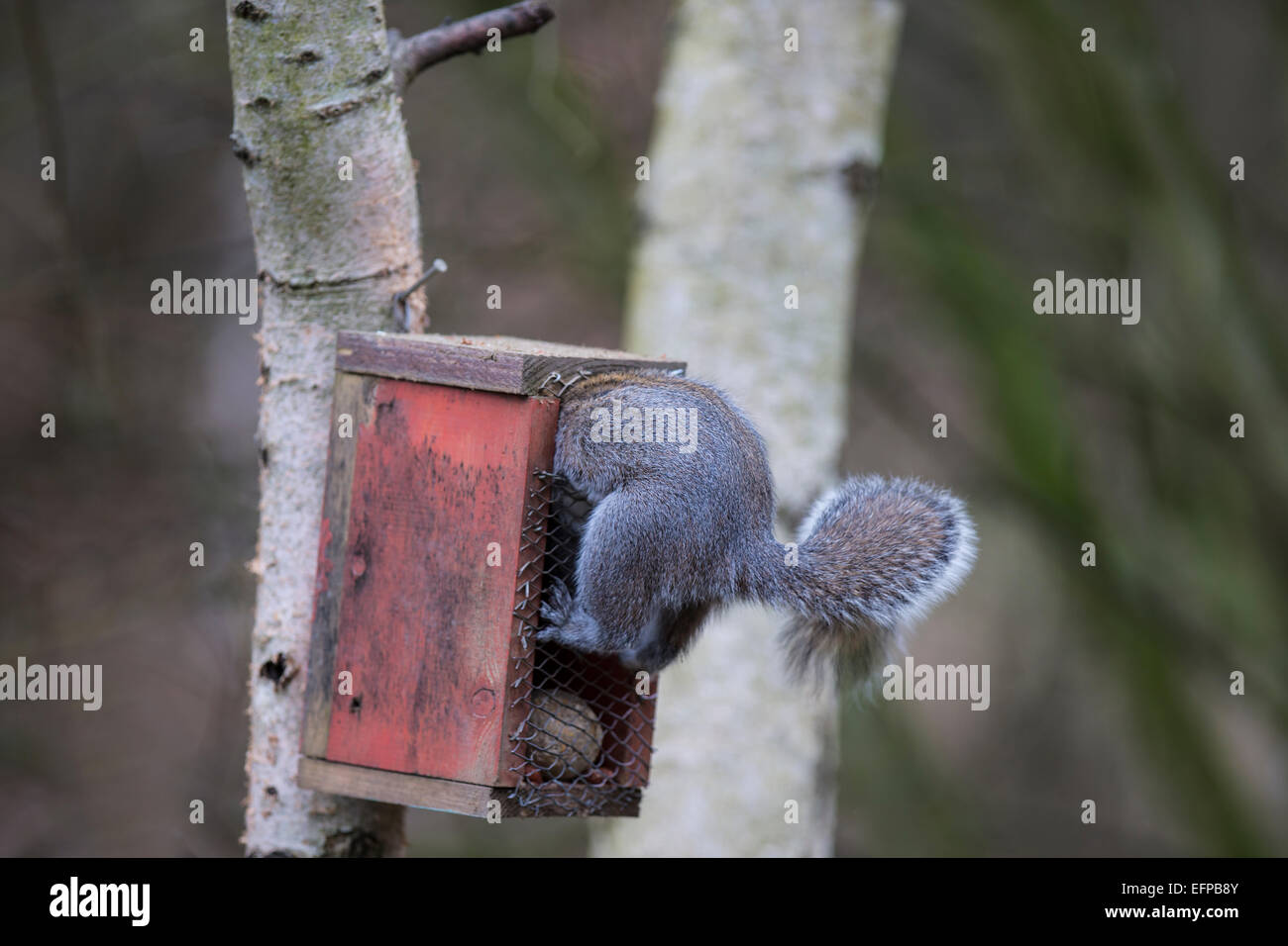 Grey squirrel Eastern gray squirrel Sciurus carolinensis raiding a bird feeder and wedged in the opening - Stock Image