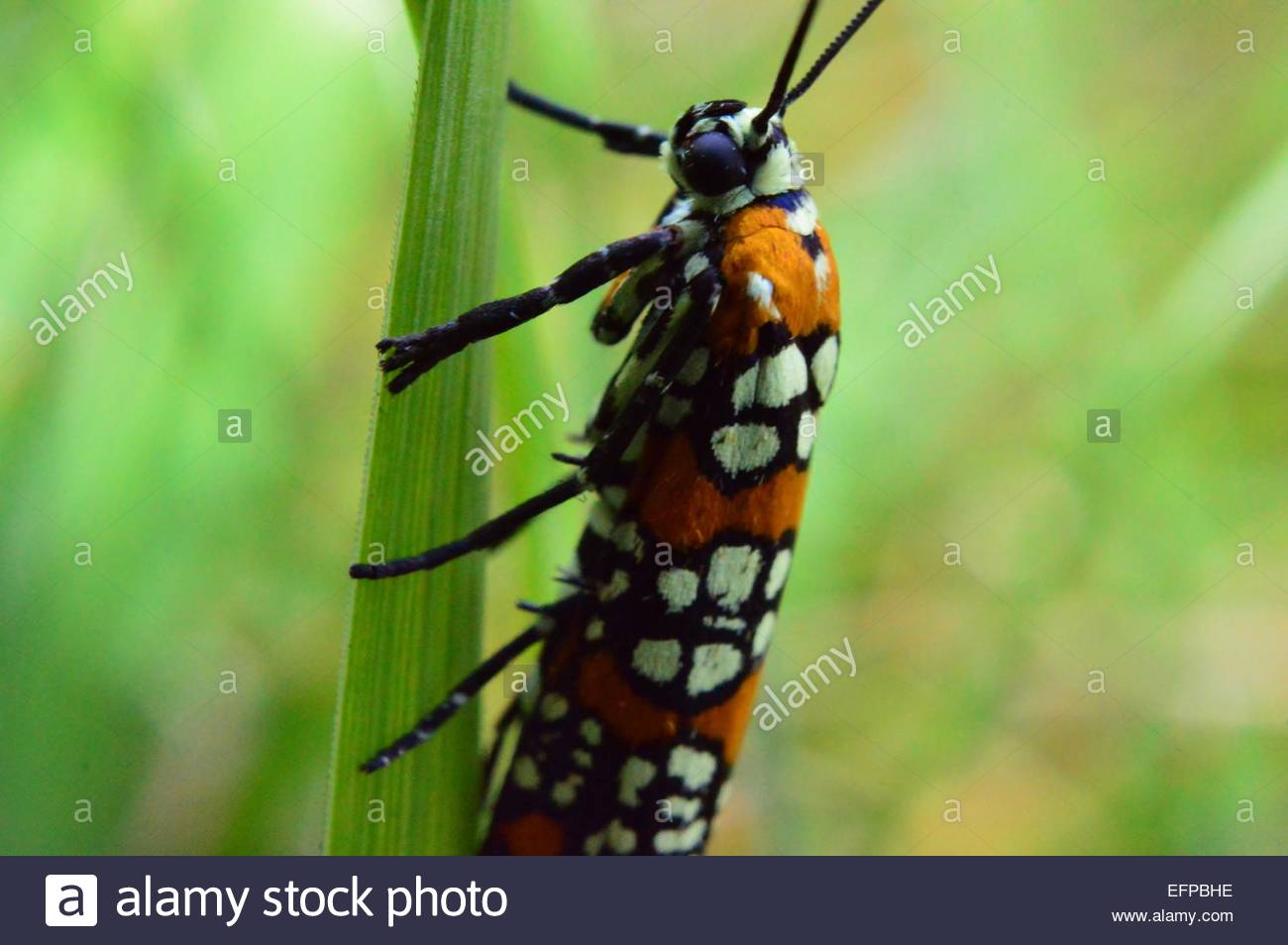Close-up of caterpillar on blade of glass - Stock Image