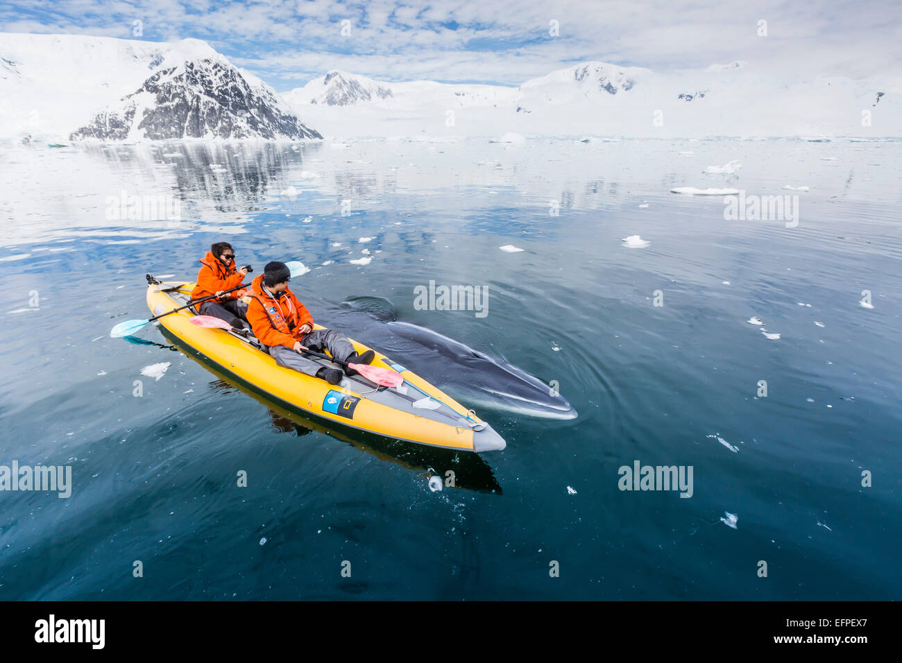 A curious Antarctic minke whale approaches kayakers, in Neko Harbor, Antarctica, Polar Regions - Stock Image