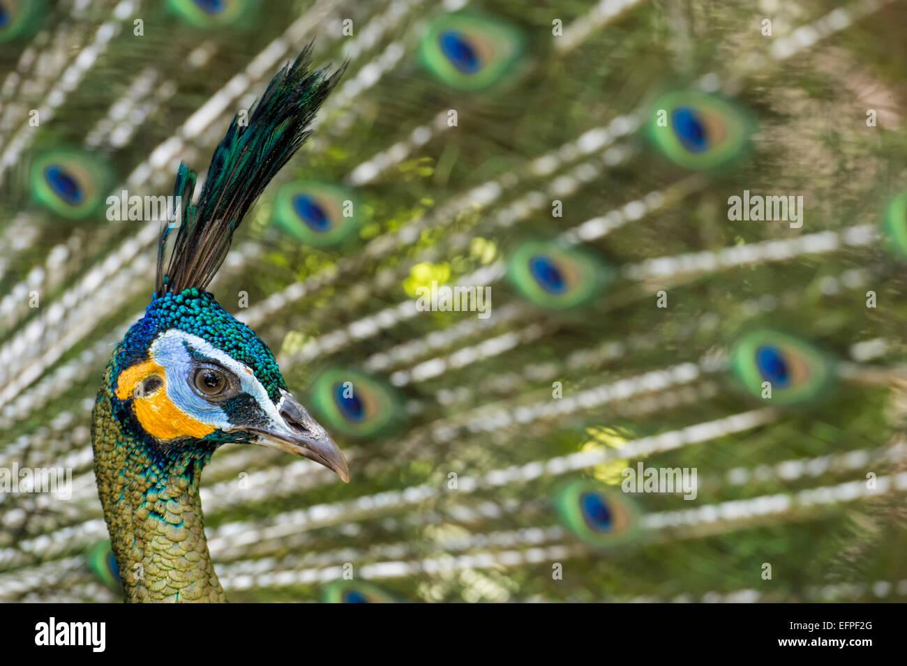 Java green peafowl (Pavo muticus), Bali Bird Park, Indonesia, Southeast Asia, Asia - Stock Image