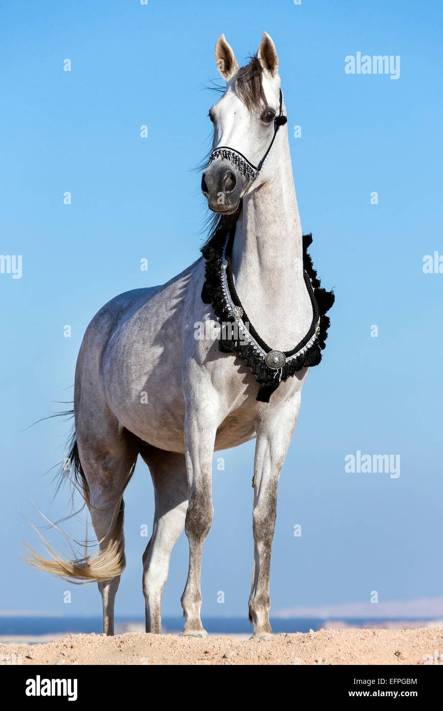 Arabian Horse Gray Mare Traditional Tack Standing The Desert Egypt Stock Photo Alamy