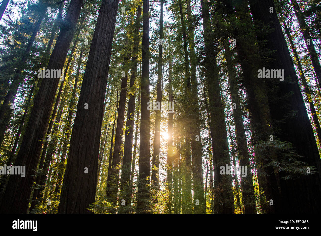 Sun breaking through the Redwood trees, Avenue of the Giants, Northern California, USA - Stock Image