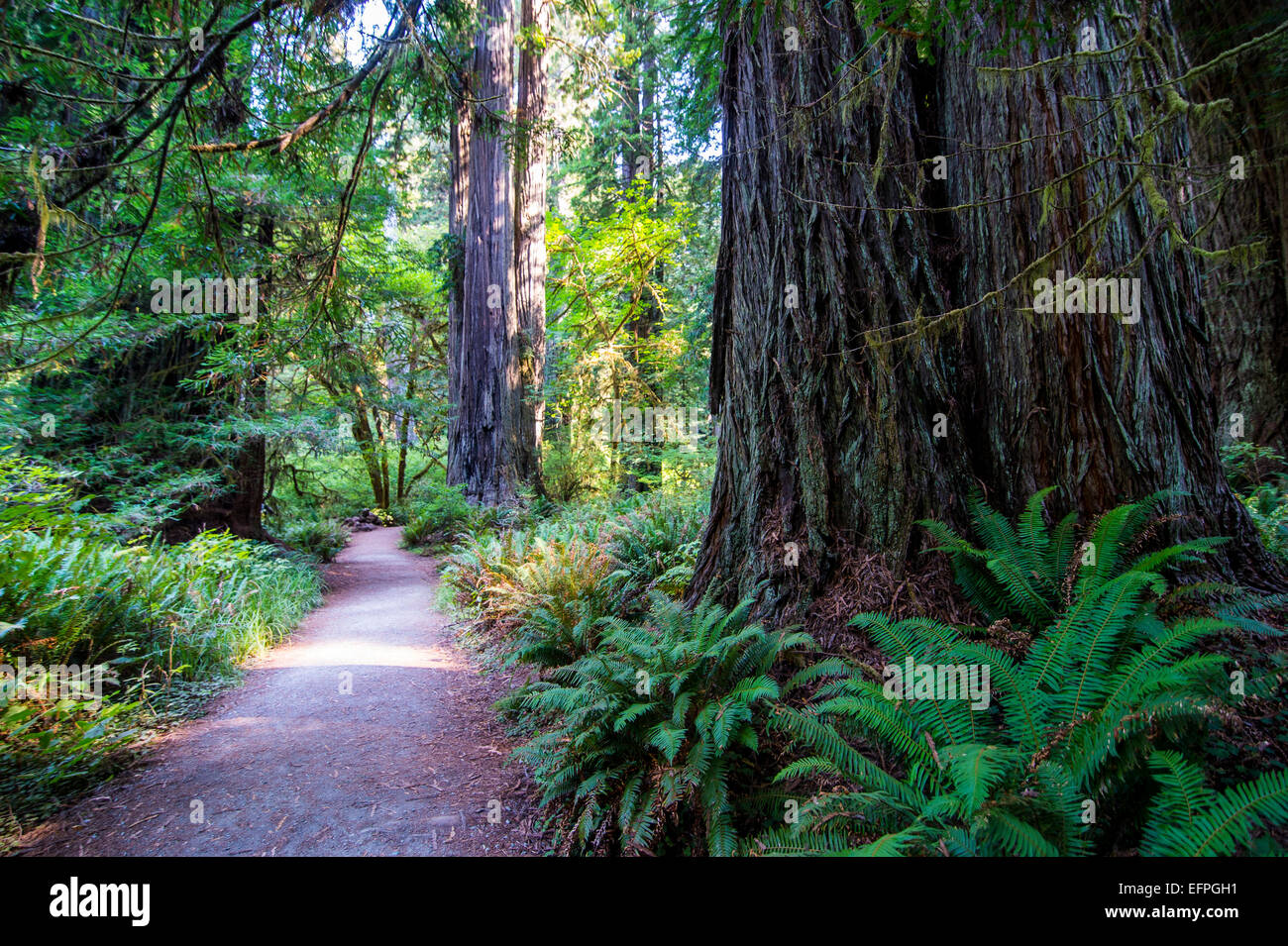 Giant redwood trees in the Redwoods National and State parks, California, USA - Stock Image