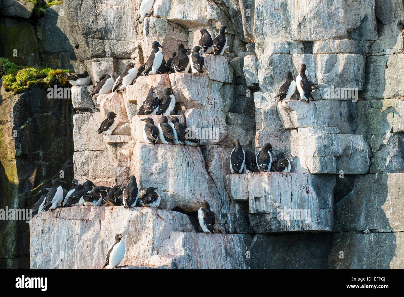 Black-legged kittiwakes (Rissa tridactyla) colony on the cliffs of Alkerfjellet, Svalbard, Arctic - Stock Image