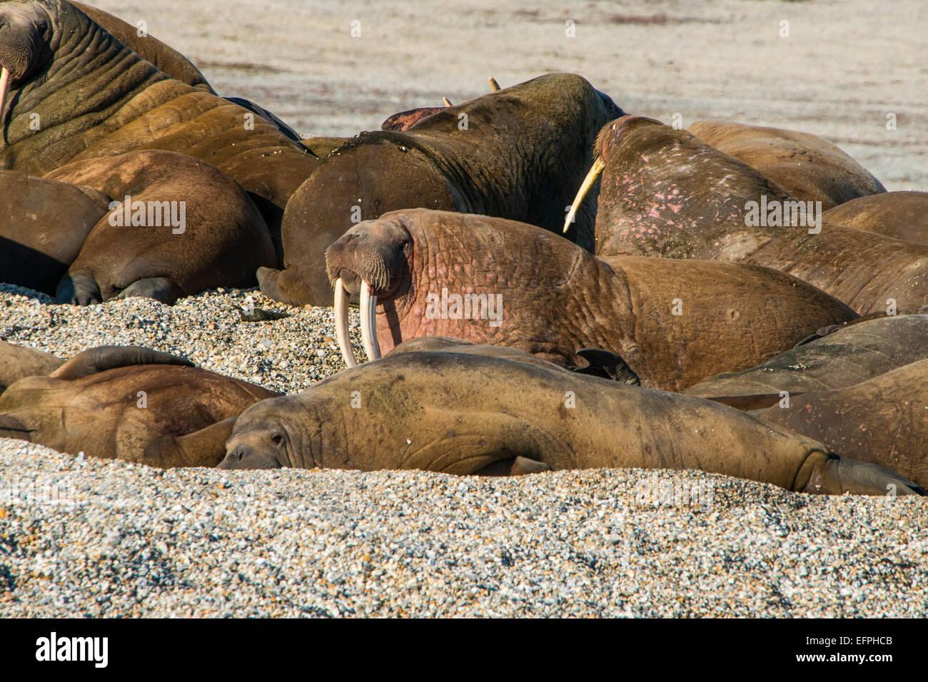 Walrus (Odobenus rosmarus) colony, Torellneset, Svalbard, Arctic, Norway, Scandinavia, Europe - Stock Image