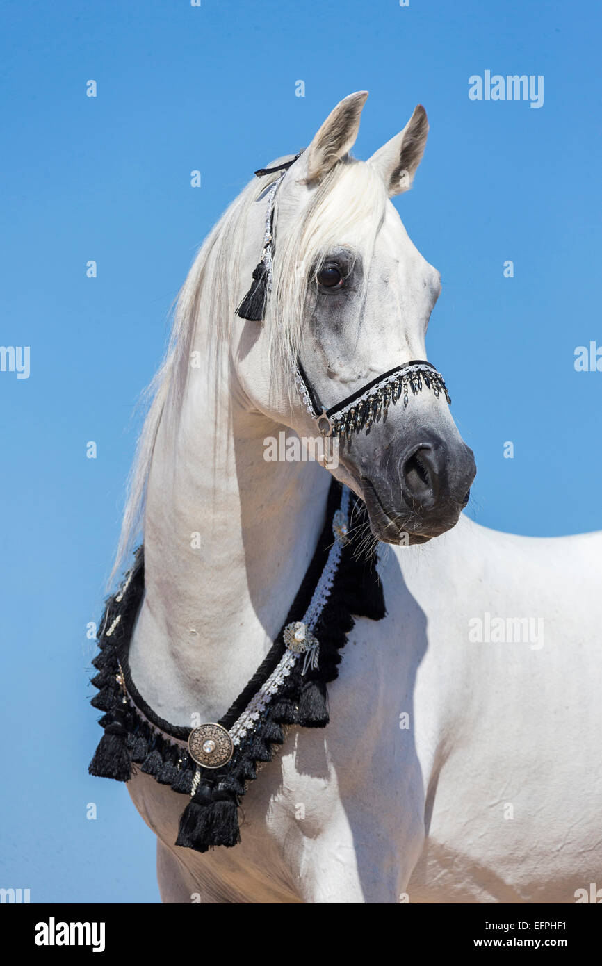 Arabian Horse Portrait Gray Stallion Traditional Tack Egypt Stock Photo Alamy