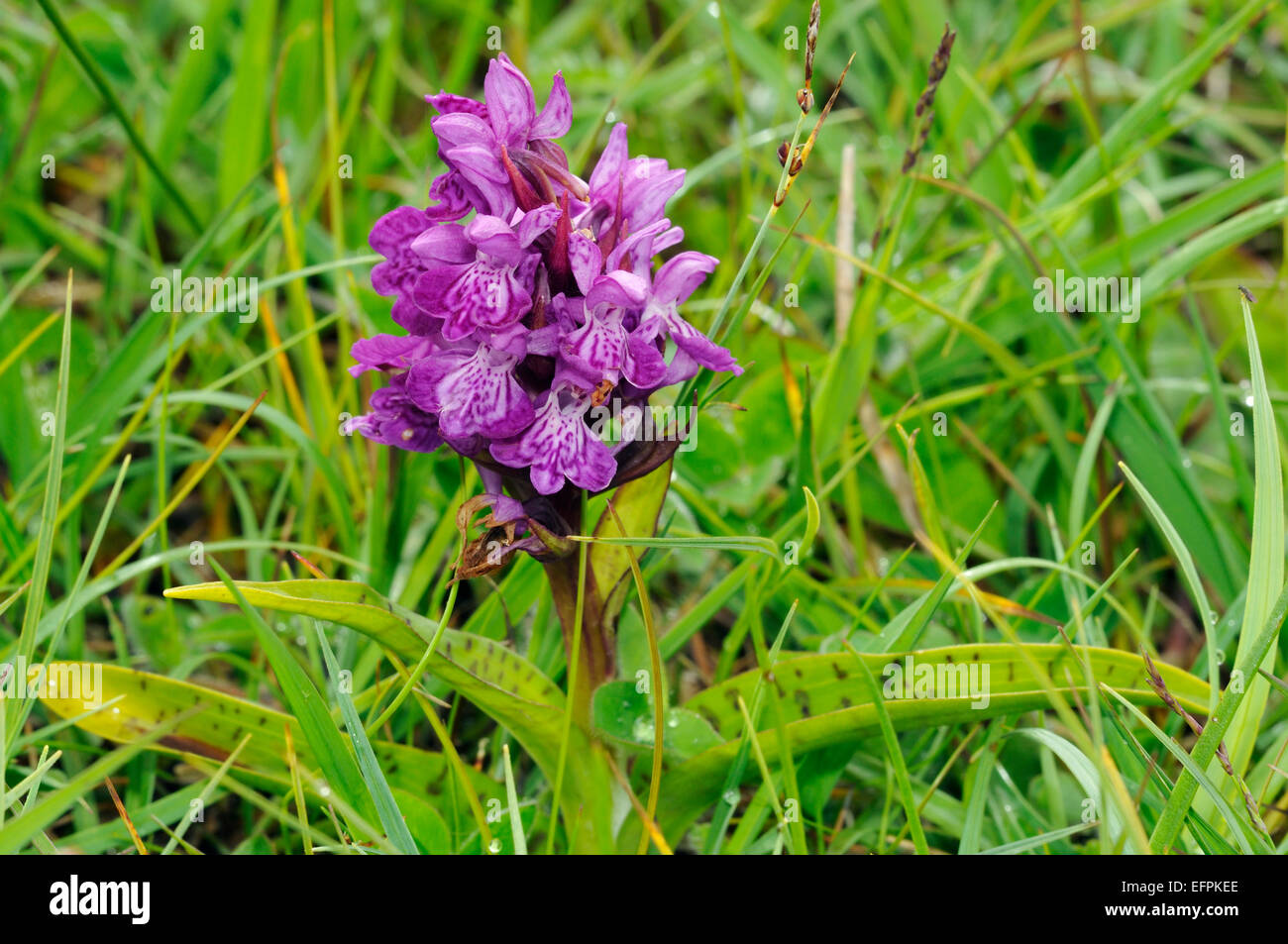 Northern Marsh Orchid - Dactylorhiza purpurella cambrensis Growing on Machair grassland Spotted leaf form, whole - Stock Image