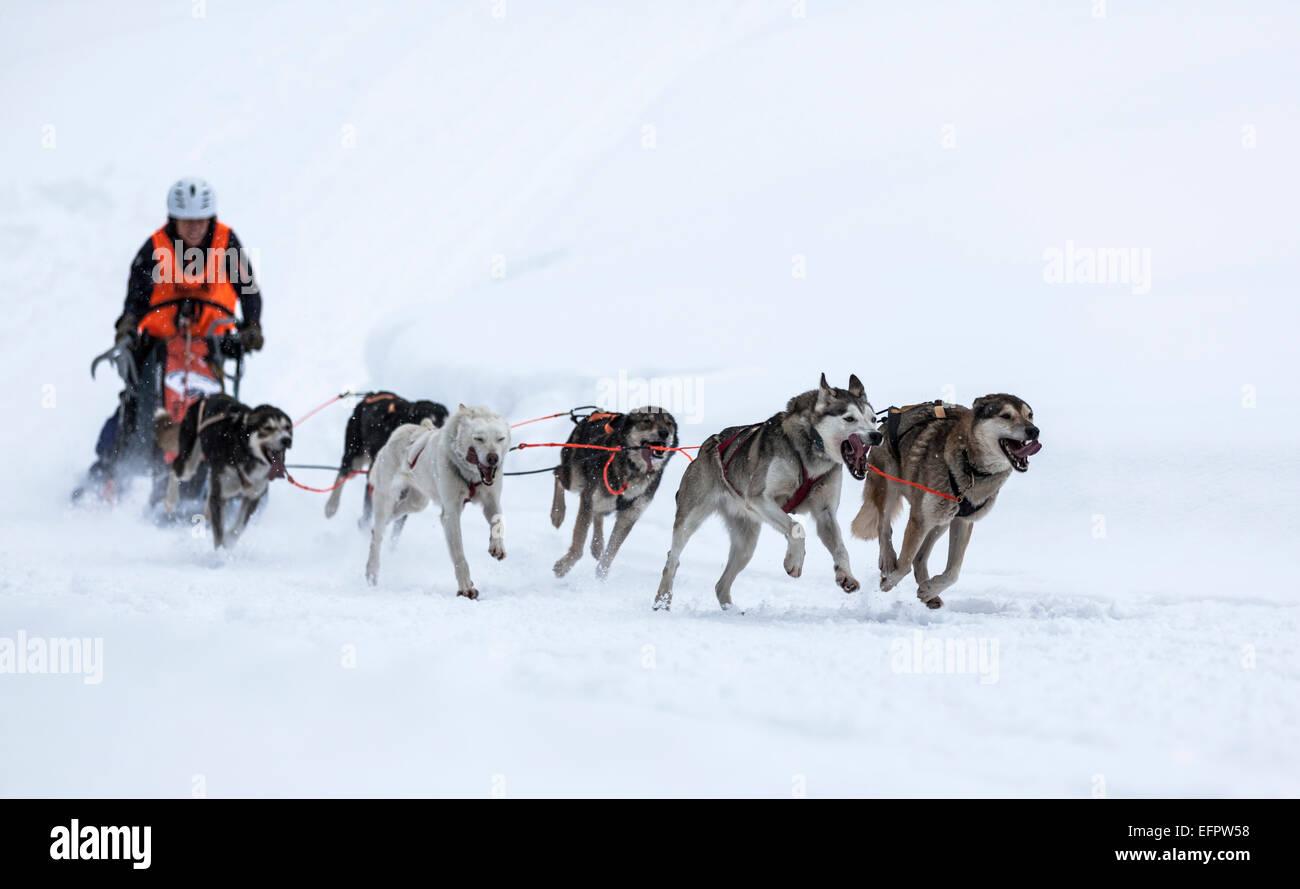Sledge dog team on snow, Huskies, sled dog race, Unterjoch, Allgäu, Bavaria, Germany - Stock Image