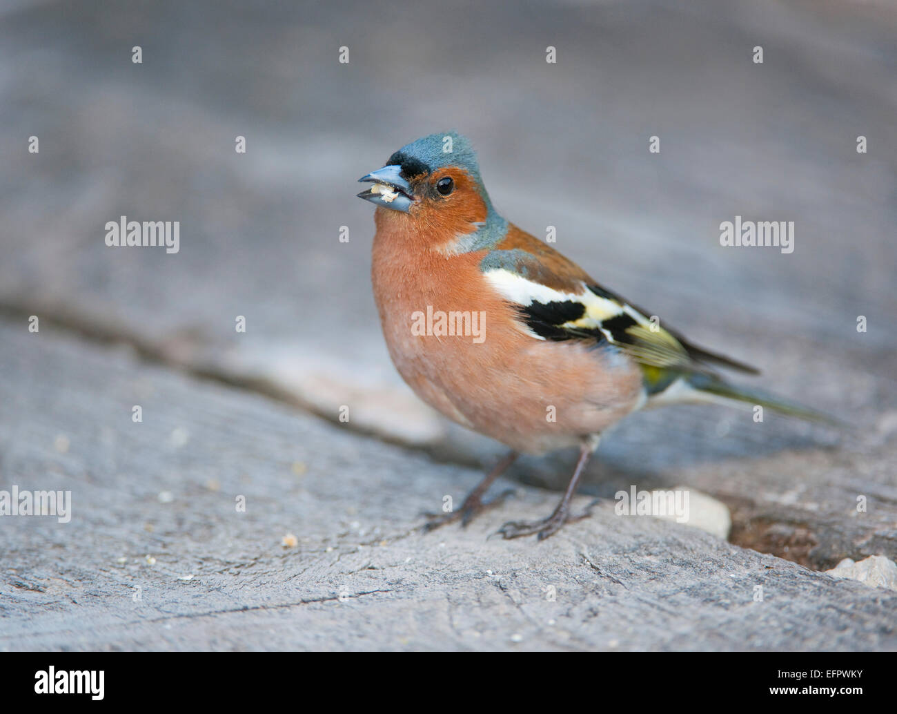 Chaffinch (Fringilla coelebs), male, feeding on a grain of maize, Bavaria, Germany - Stock Image