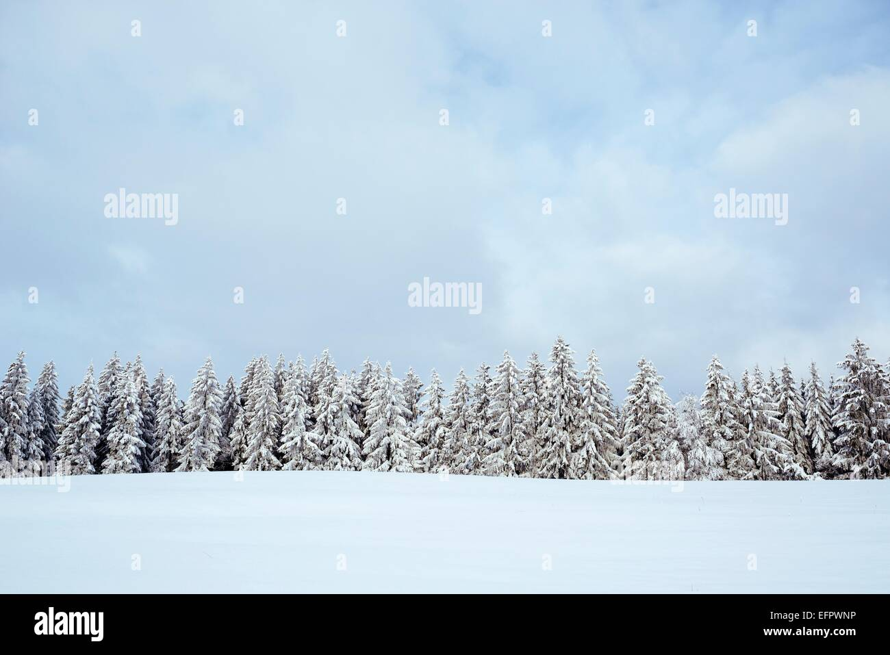Snow-covered firs (Abies), Baden-Württemberg, Germany - Stock Image
