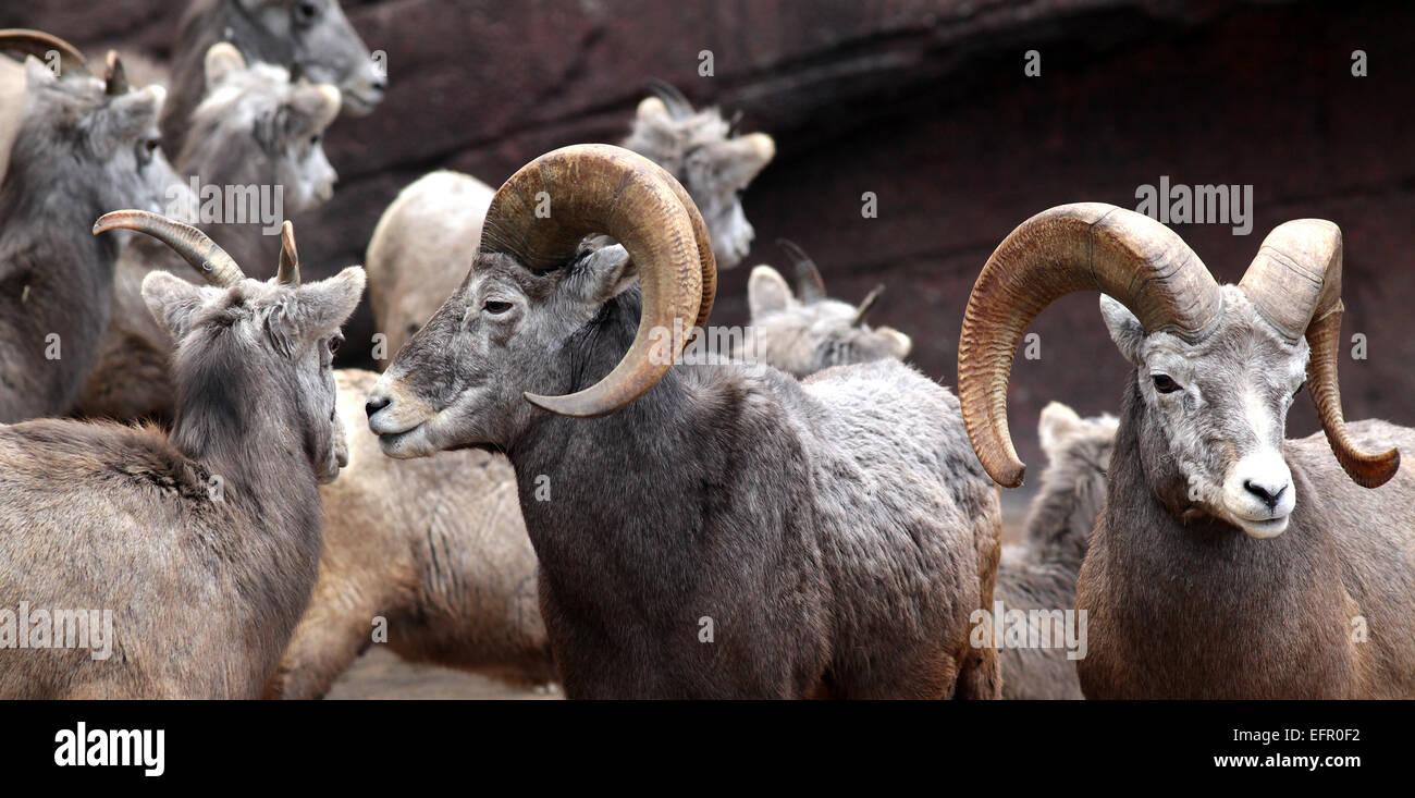 Big horn Sheep.Joshua Tree National Park, California, USA.Ovis canadensis - Stock Image