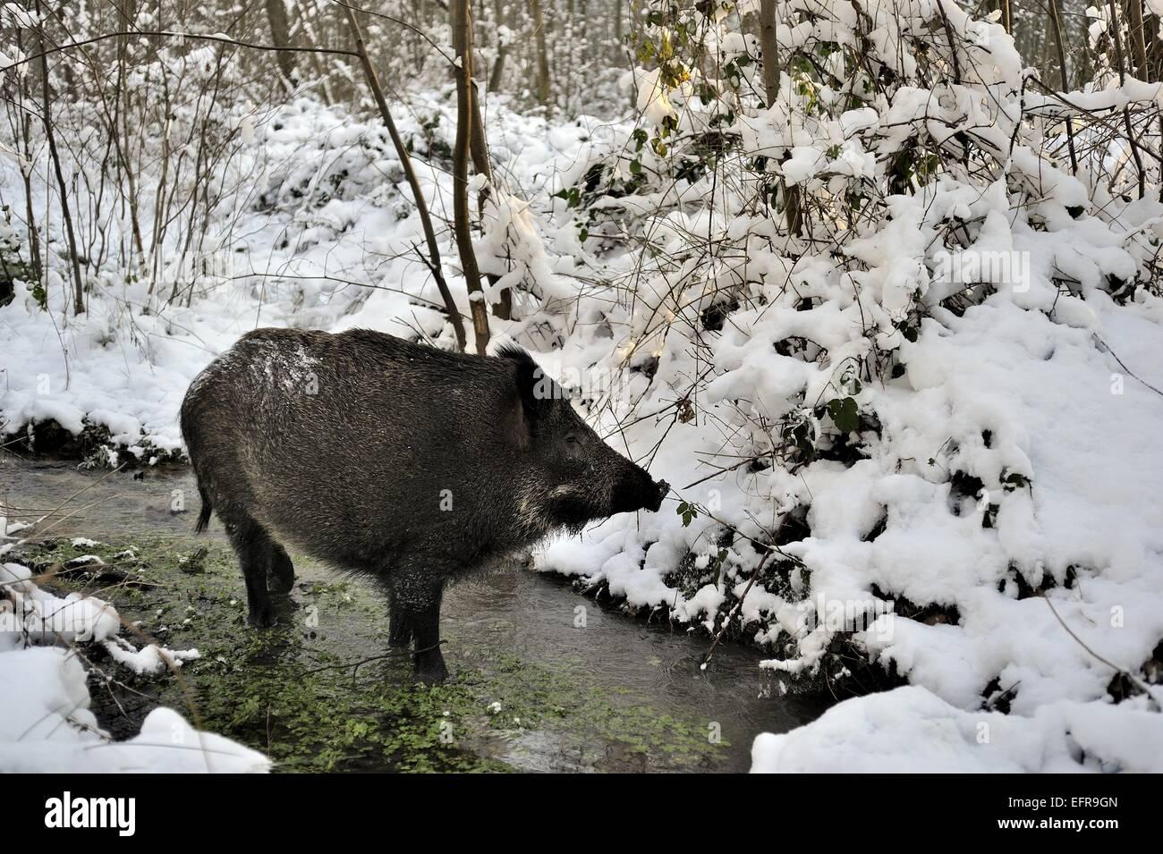 Wild boar (Sus scrofa) sow foraging in a brook in winter Belgium - Stock Image