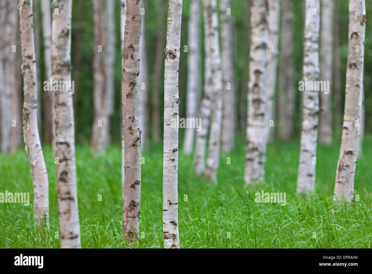 Silver birch / warty birch (Betula pendula / Betula alba / Betula verrucosa) tree trunks of birches in deciduous - Stock Image