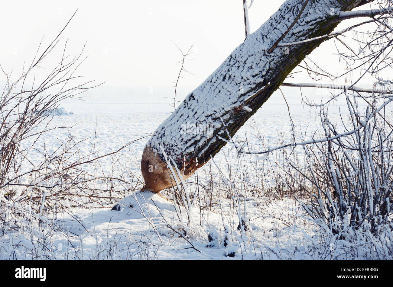 Tree trunk overturned by a beaver Stock Photo