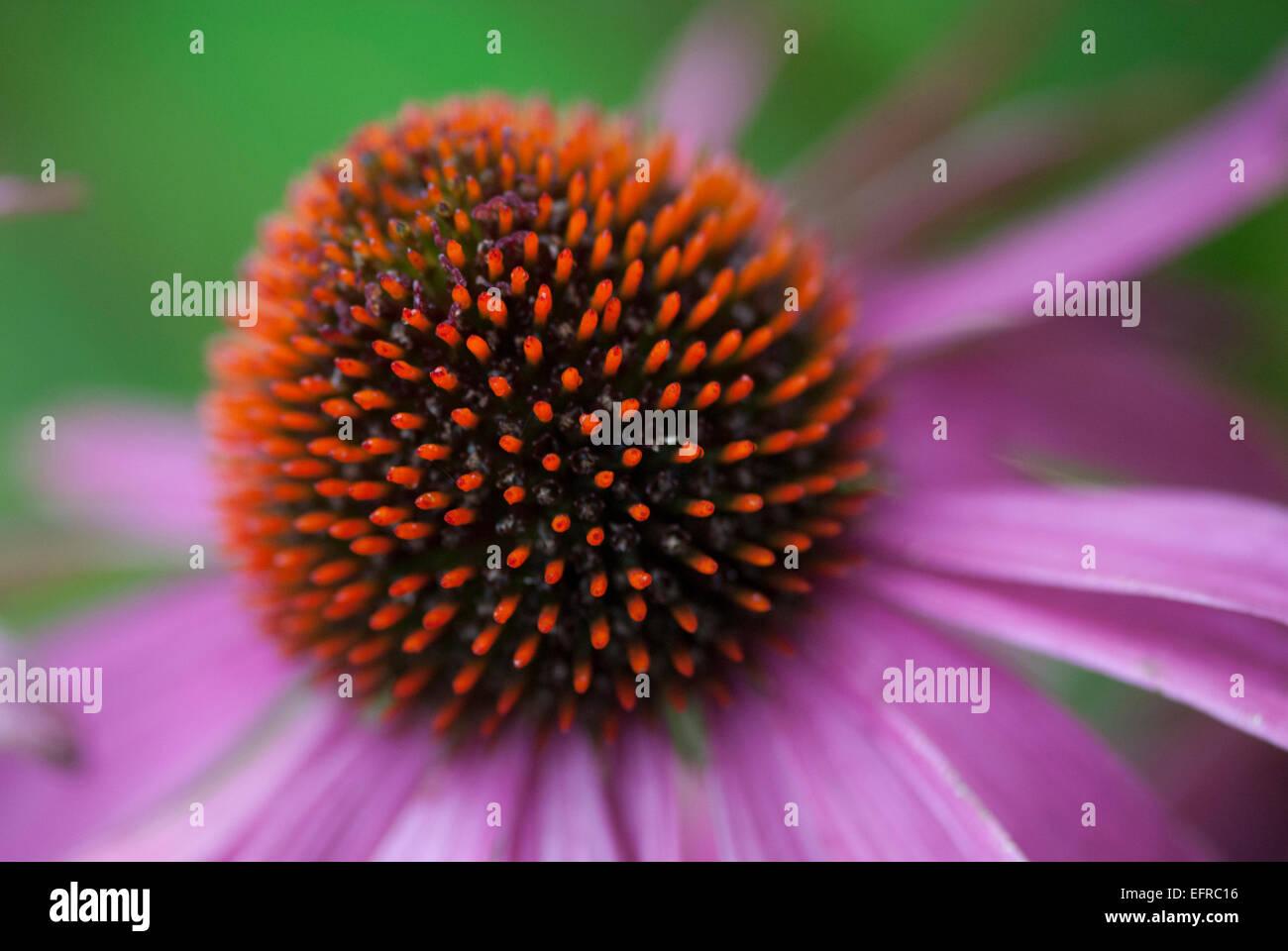 Beautiful Close Up Eastern Purple Coneflower - Stock Image