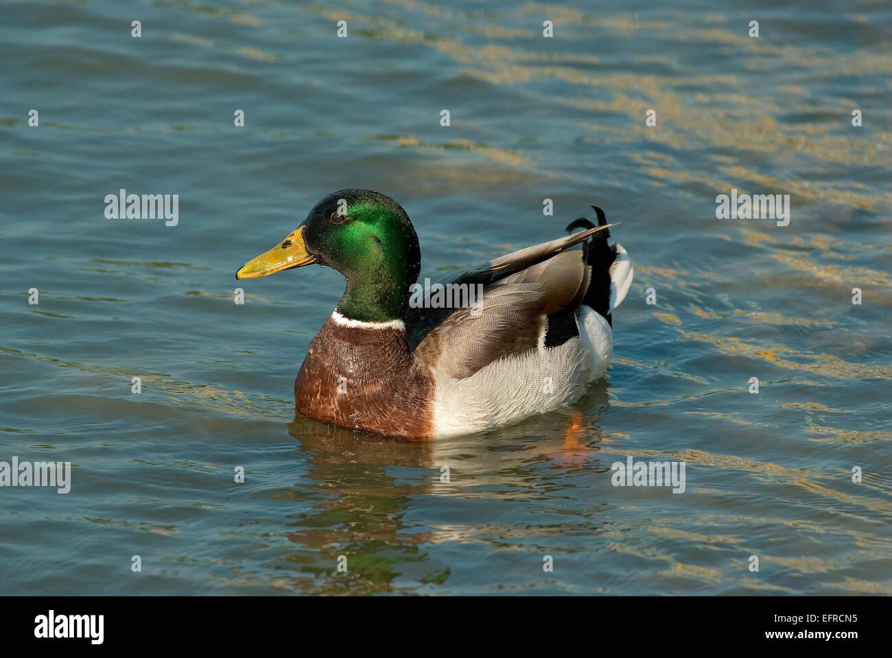 Mallard duck (Anas platyrhynchos), Lake Trasimeno, Umbria, Italy, Europe - Stock Image