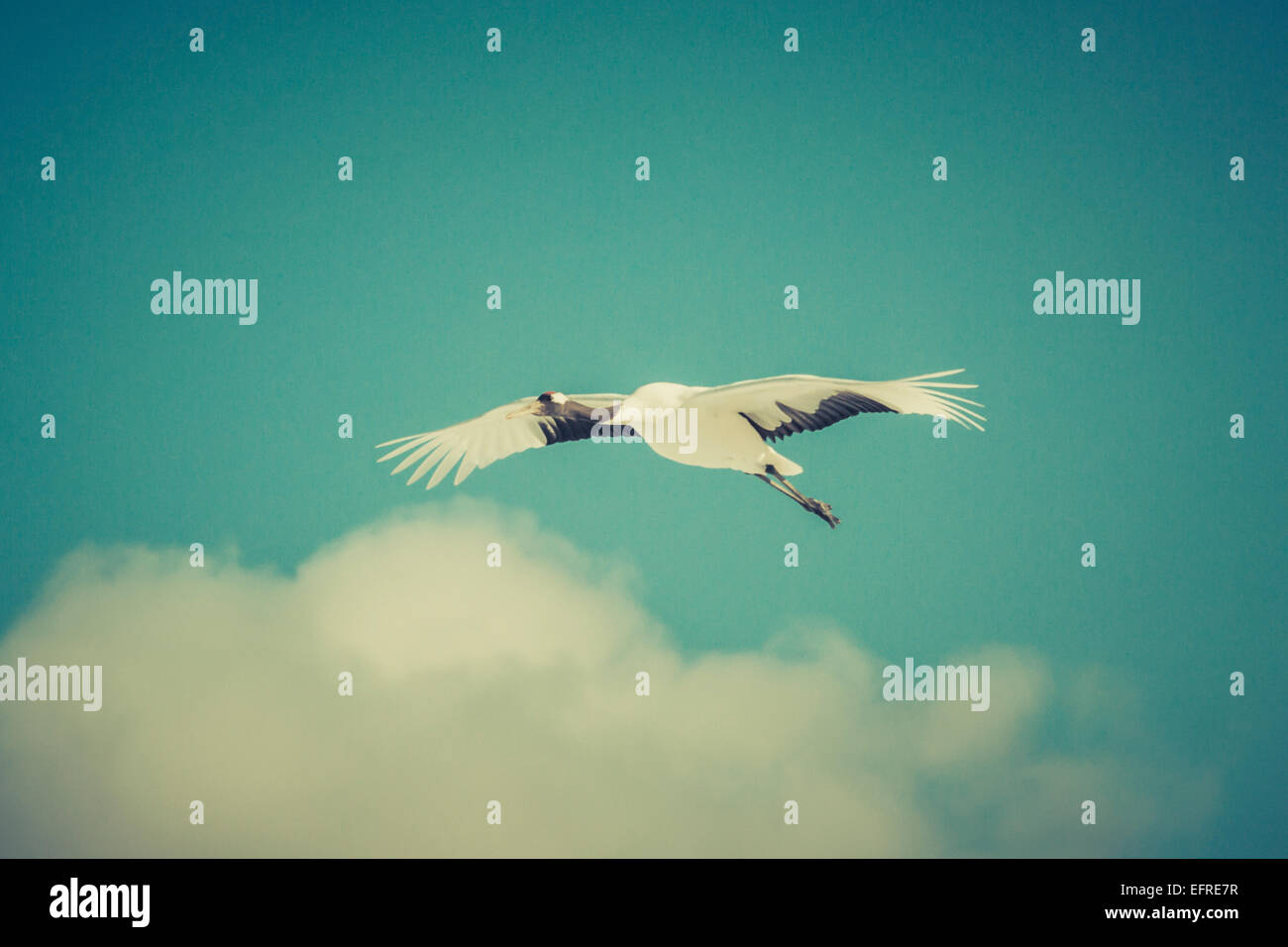 Japanese Red-crowned Crane Flying, Hokkaido, Japan - Stock Image