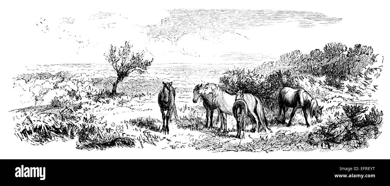 New Forest, UK, photographed from a book 'English Pictures Drawn with Pen and Pencil' published in London - Stock Image