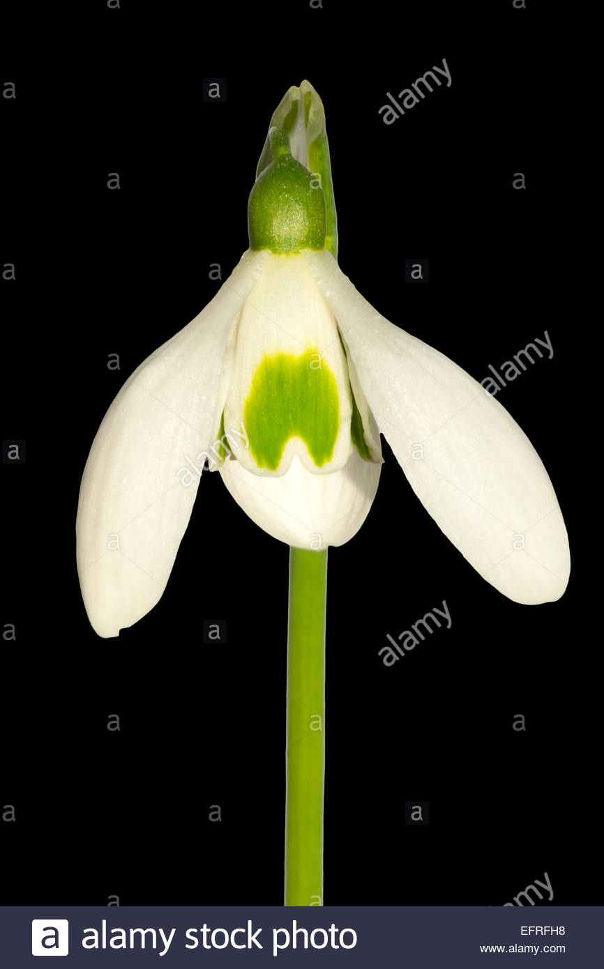 Galanthus 'Hobsons choice' named variety. Snowdrop flower close up. - Stock Image