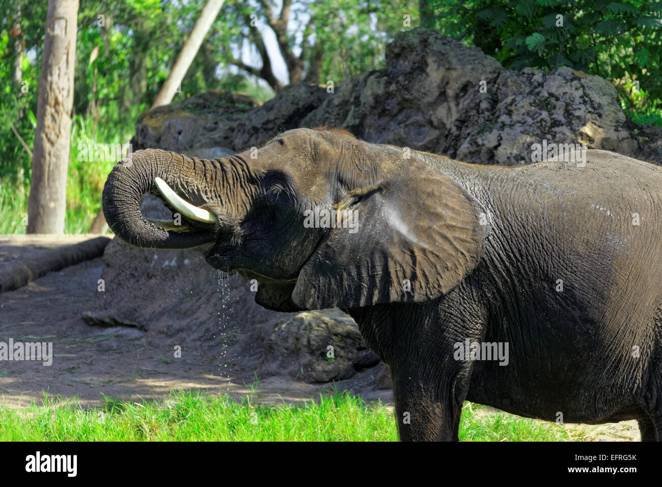 An African elephant standing in a watering hole, taking a drink - Stock Image