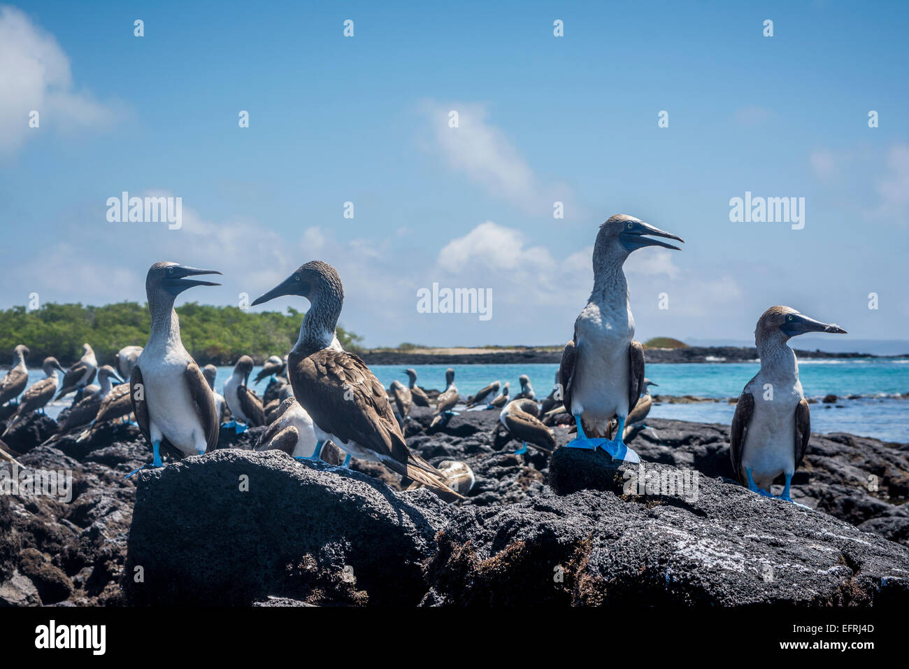 Blue-footed Booby, Galapagos Islands, Ecuador - Stock Image