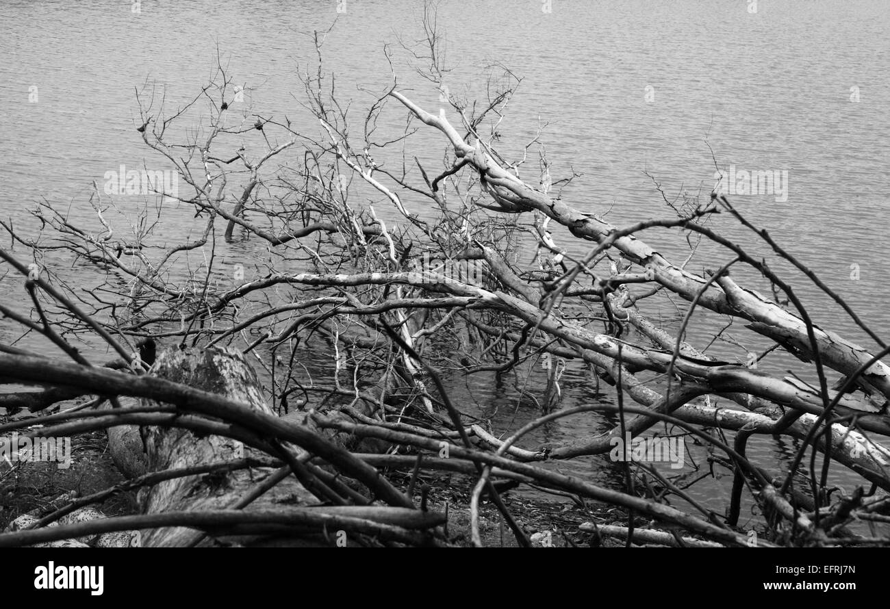 Dead trees on the lake water in Black and White - Stock Image