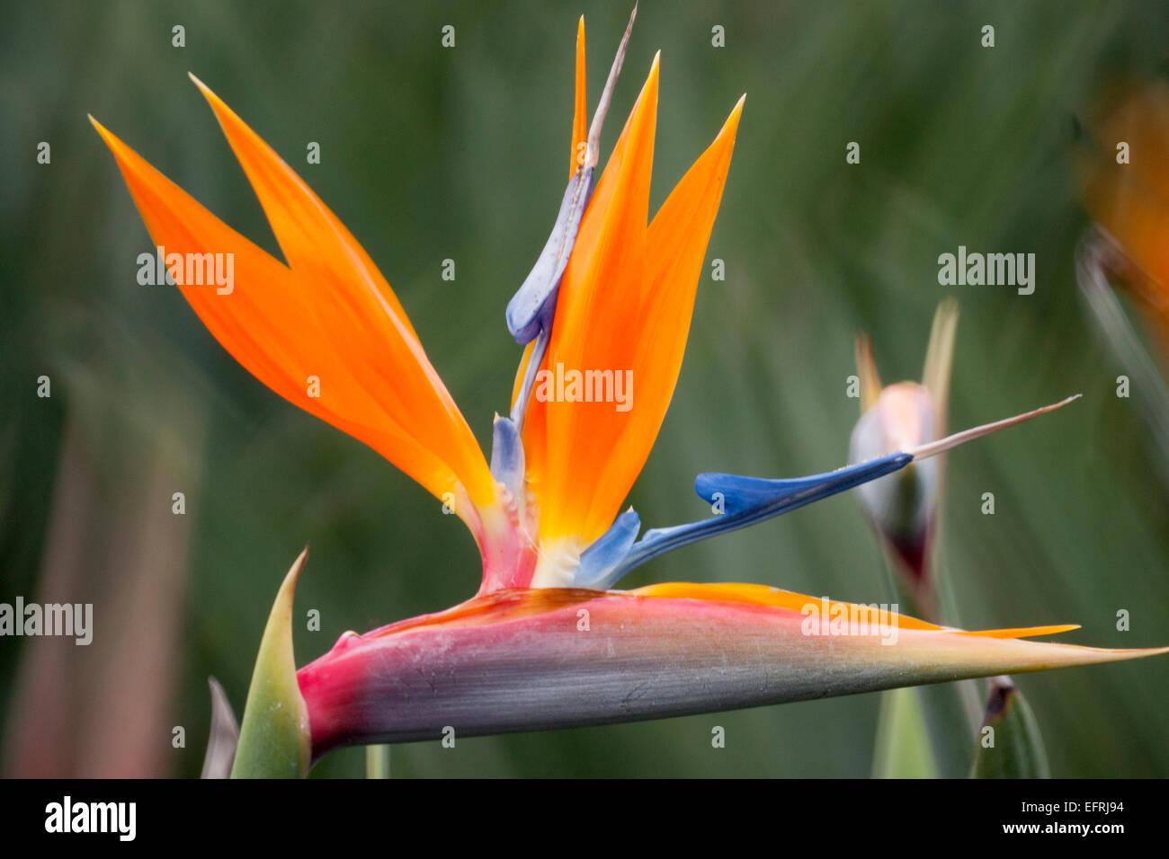 Bird of Paradise - Stock Image