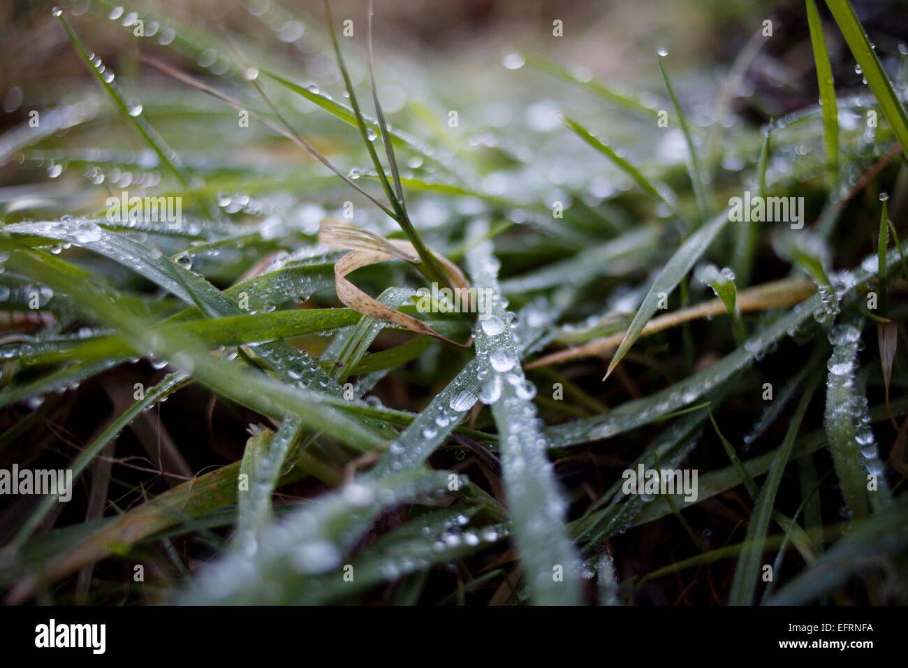 Grass wet with dew. - Stock Image
