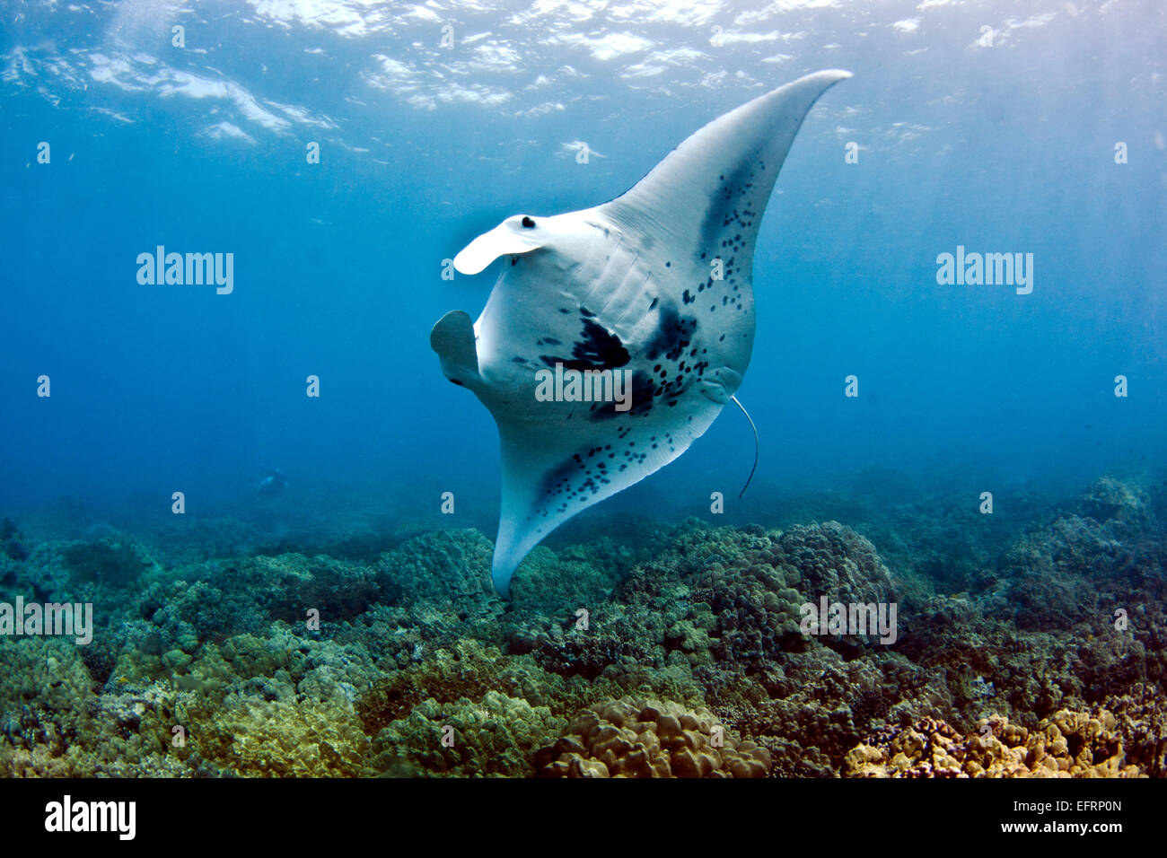 A coastal manta ray (Manta alfredi) swoops gracefully over the reef offshore from Kona, Hawaii - Stock Image