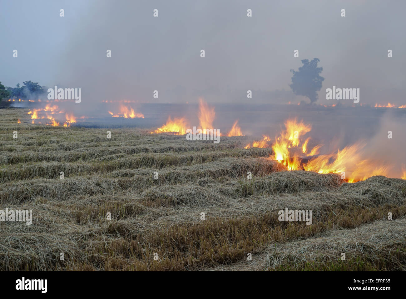 burning, the irresponsible choice to get rid of rice field stubble - Stock Image