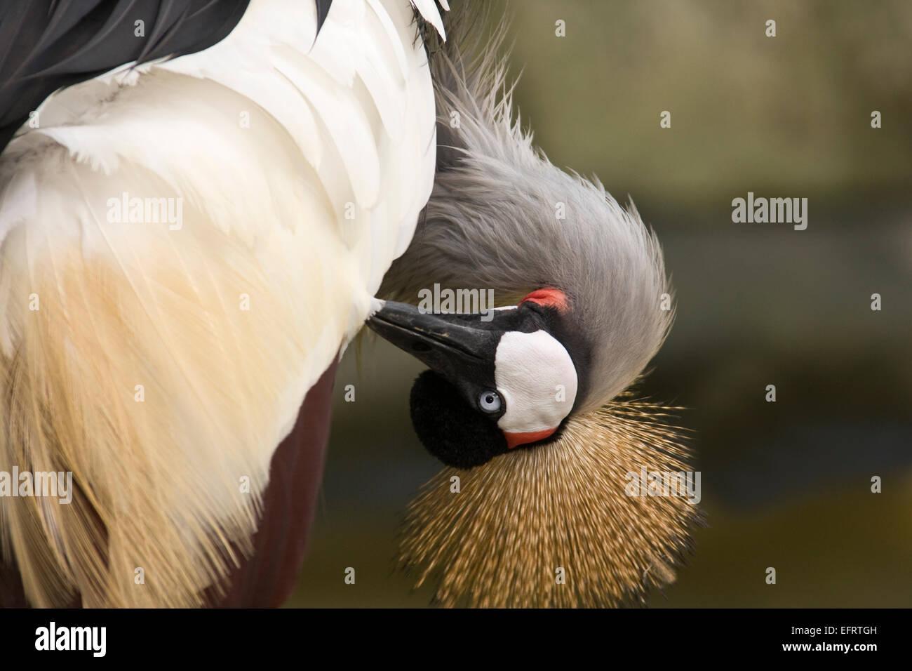 Black crowned Crane (Balearica pavonina), Africa - Stock Image