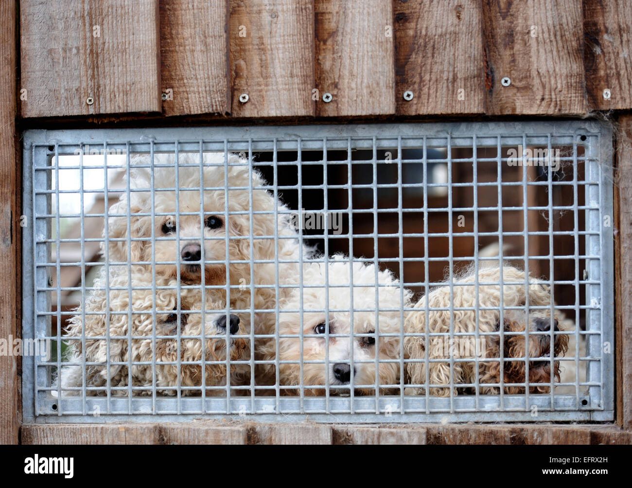 Rescued ex-breeding Bichon dogs at the Many Tears Animal Rescue centre near Llanelli, S. Wales UK - Stock Image