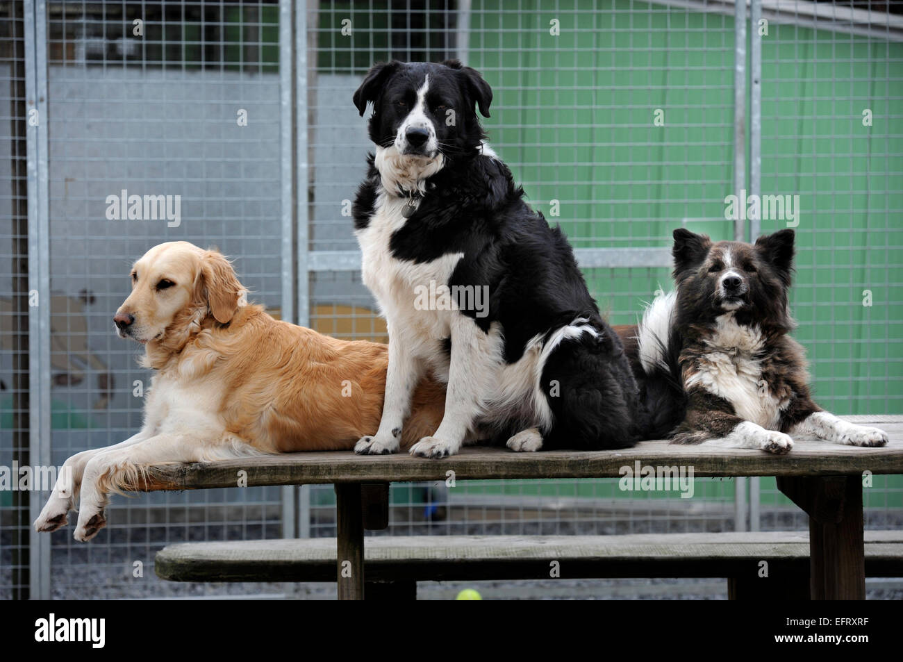 Dogs for adoption at the Many Tears Animal Rescue centre near Llanelli, S. Wales UK - Stock Image