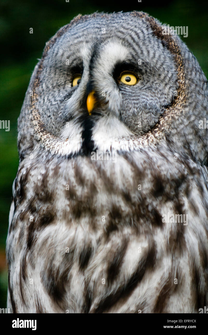 This is siberian gray owl.It is raptorial nocturnal bird. - Stock Image
