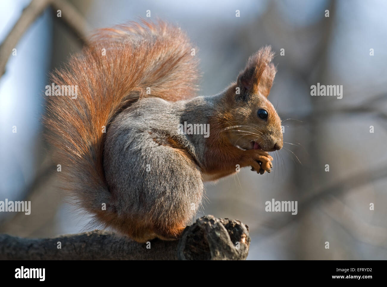 Bushy squirrel puts its talons together and sits on the branch. Squirrel's pelage is red and gray. - Stock Image