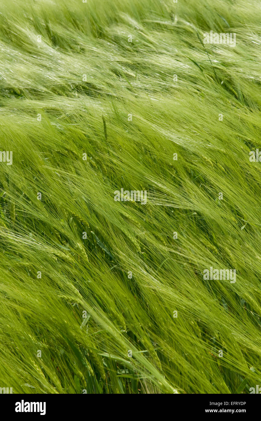 This is a green wheat field. The spikelets are leaning in the wind. - Stock Image